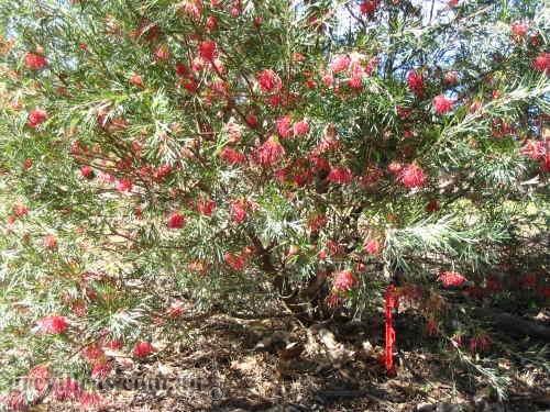 Grevilleas.com.au - Grevillea Winpara Gem: www.grevilleas.com.au/grev42.html
